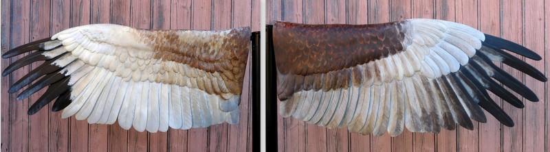 Ailes déployées de busard des roseaux en résine de 70 cm